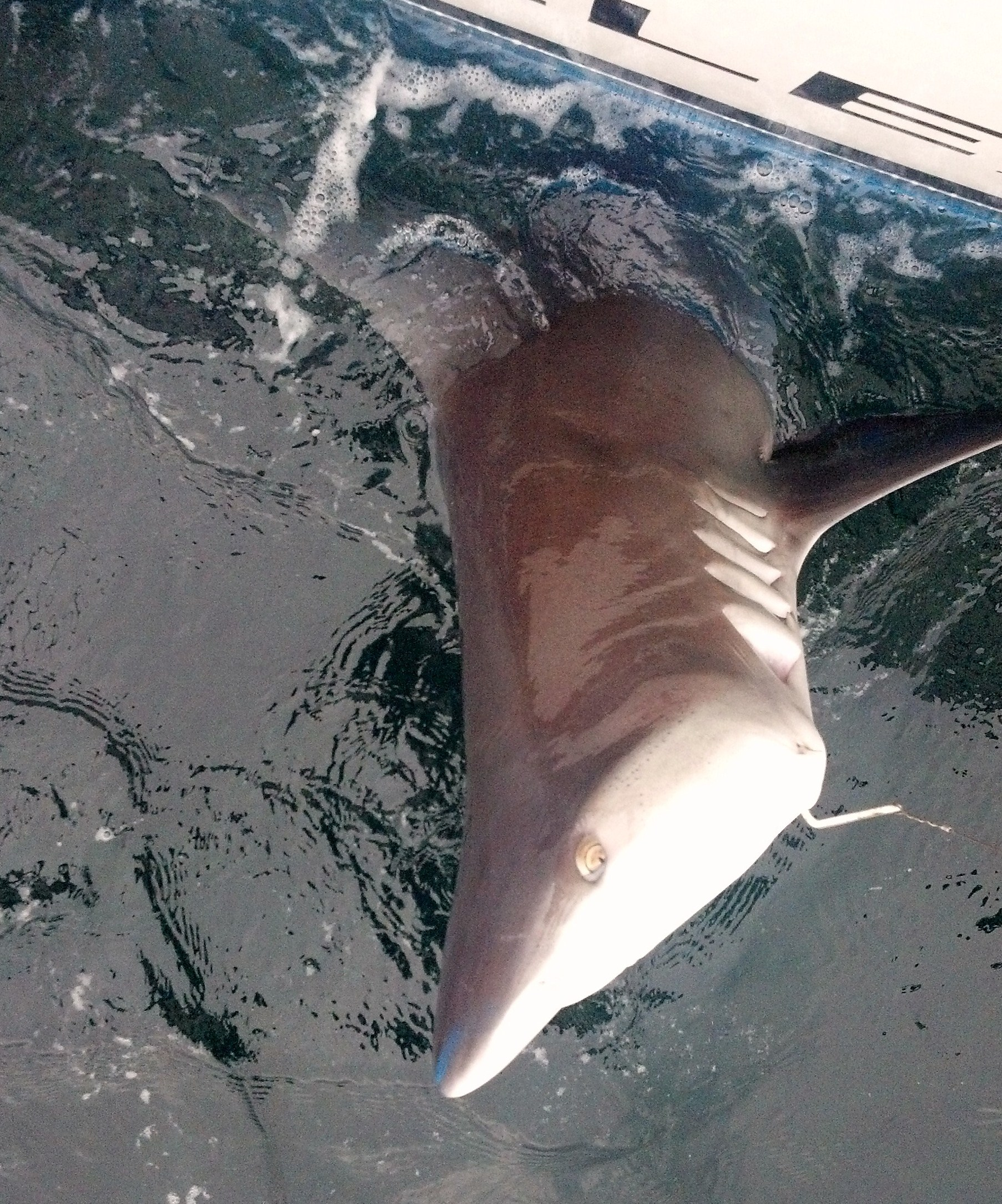 Shark fishing new jersey charter fishing nj for Blue fishing nj