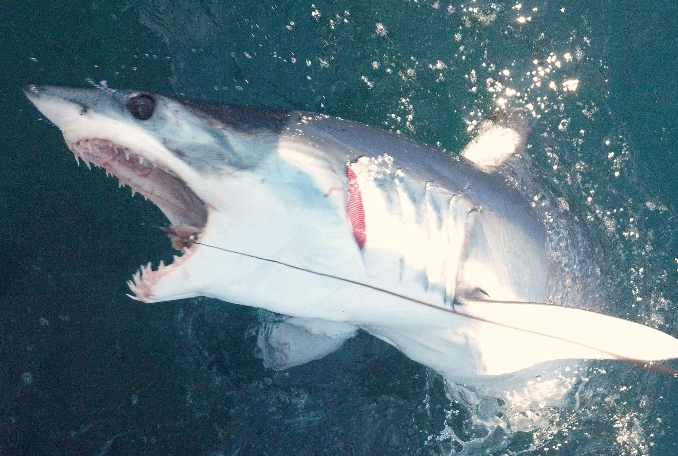 Shark fishing new jersey charter fishing nj for Fishing charters nj