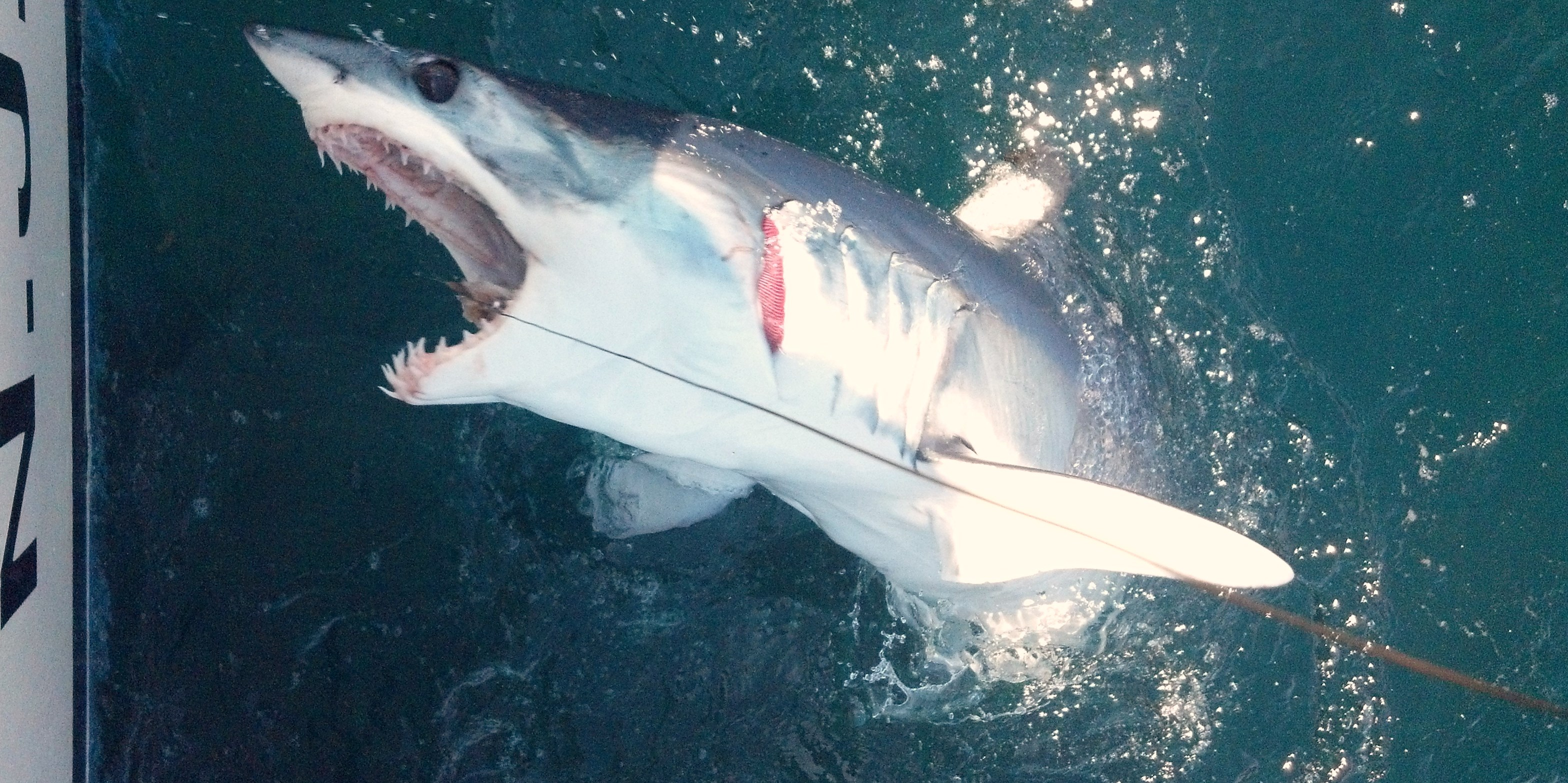 This is shark week watch it on tv and live it on blue for Shark fishing nj