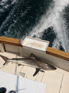 shark fishing on Blue Chip Sportfishing Tours