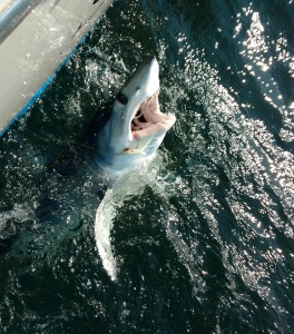Blue Chip Shark Special Point Pleasant
