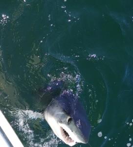 New Jersey Shark fishing